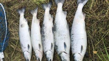 multiple-fish